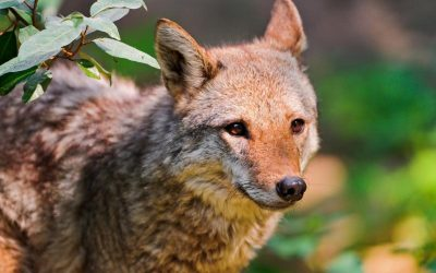 Coyotes Pestering Valley Glen