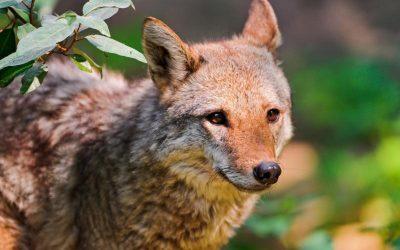 Coyotes Pestering Valley Glen