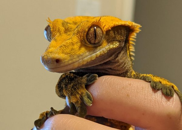 Crested Gecko, Pokey