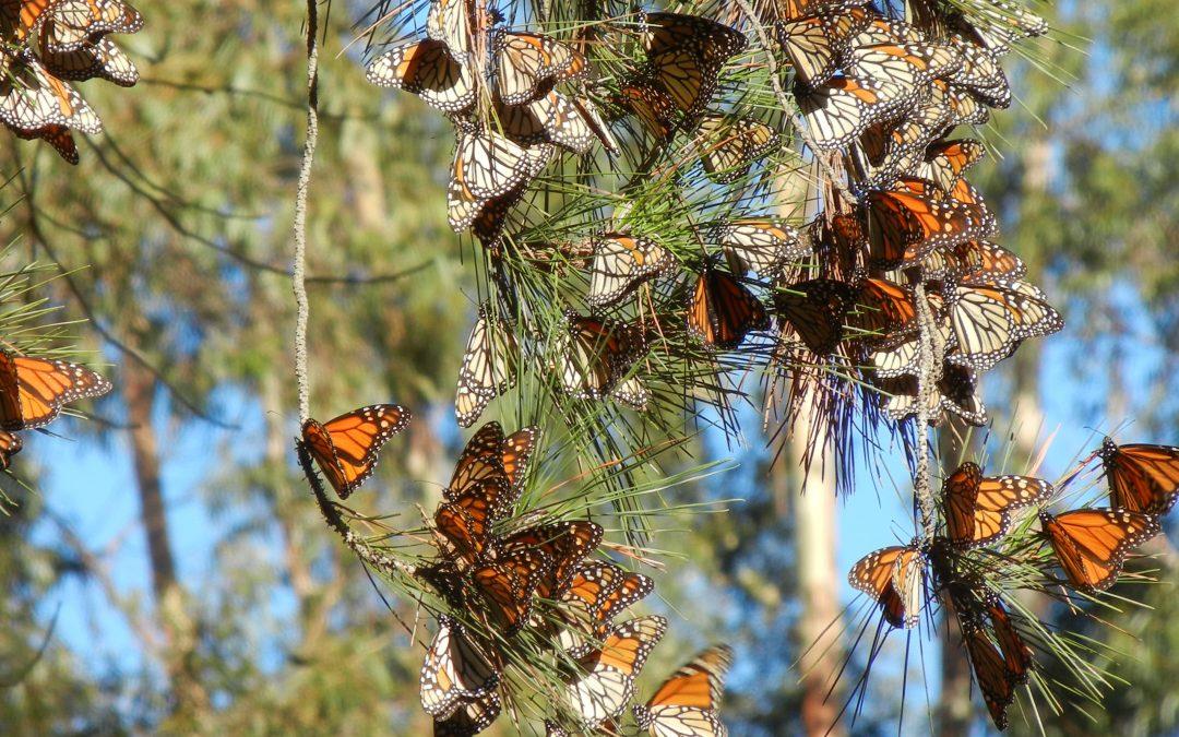 Butterflies in Valley Glen